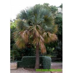 Großer Dornenbambus Samen