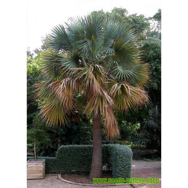 Dzinovski Trnoviti Bambus Seme Thorny bamboo