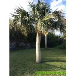 Graines de Palmier des Bermudes
