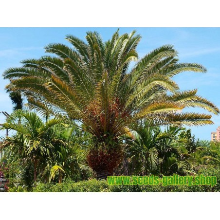Canary Island Date Palm Seeds