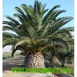Semillas de Palmera Canaria o Palma Canaria