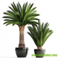Canary Island Date Palm Seeds