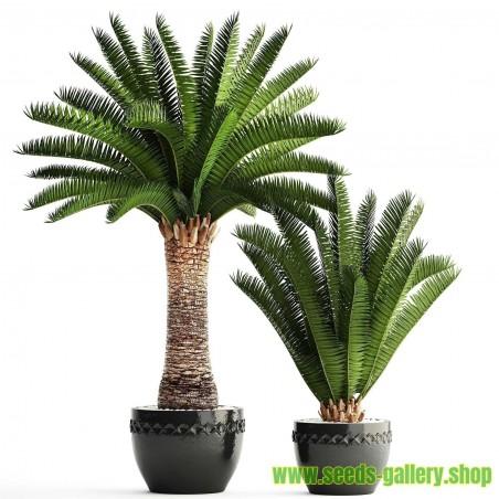 Sementes de Palmeira-das-canárias