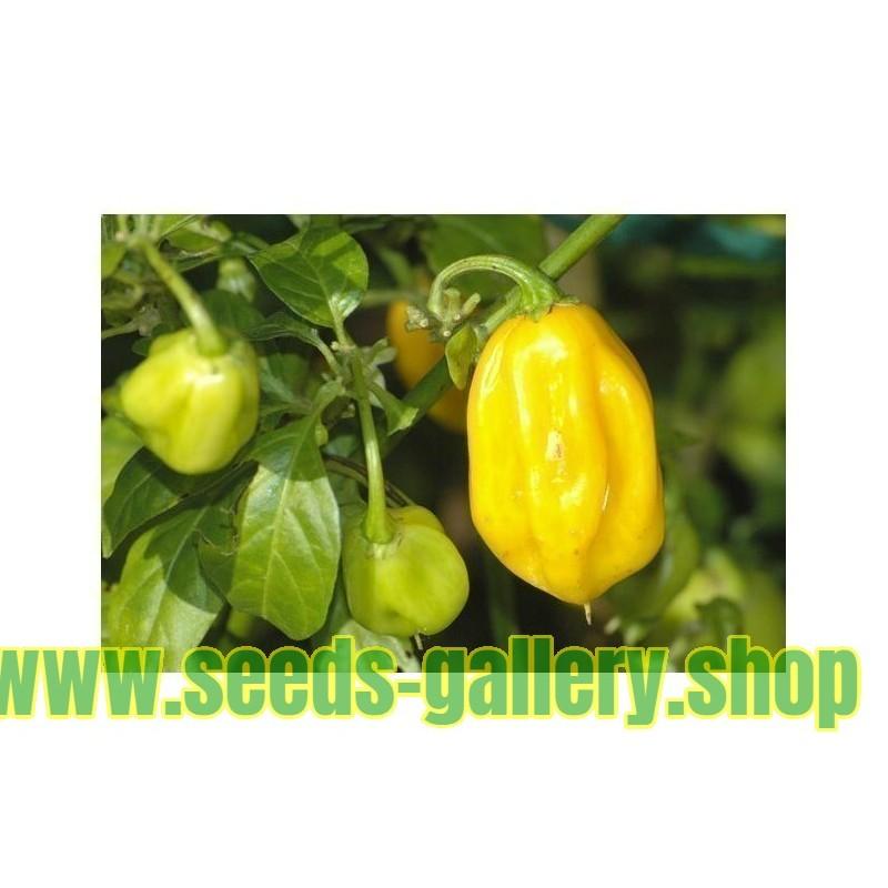 Estragon Samen Heilpflanze
