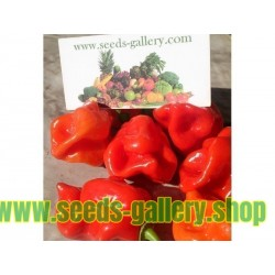 Gambia Habanero Hot Peppers Seeds
