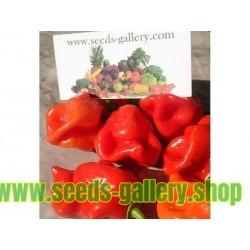 Gambia Habanero Red Chili Seme