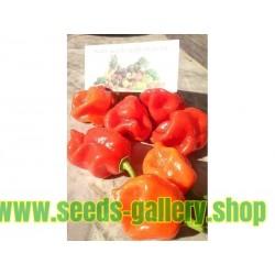 Gambia Habanero Rot Chili Samen Riesige Früchte
