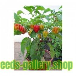 Semillas de Pimientos Habanero Gambia Red