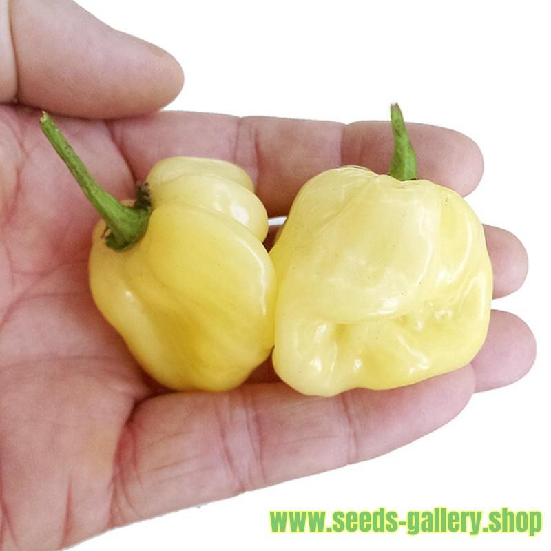 Σπόροι Τσίλι πιπέρι Giant White Habanero