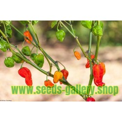 Habanero Devil's Tongue Red Seeds