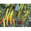 Semillas de Algodón - Algodonero