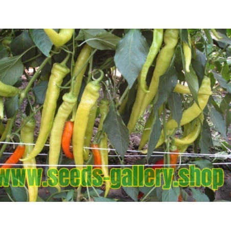 Hot Pepper Seeds NISKA SIPKA Serbian Variety