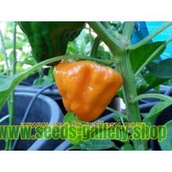 MUSHROOM YELLOW Chilli seeds