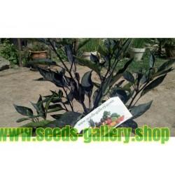 Orozco σπόροι πιπέρι τσίλι