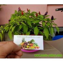 Purple Pepper Chili Seme