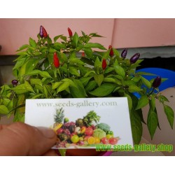 Semillas de Chile Purple Pepper