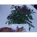 Jerusalem Pine Seeds