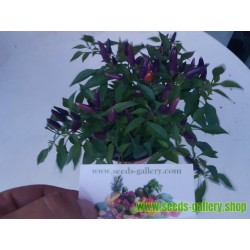 Purple pepper Chili Samen