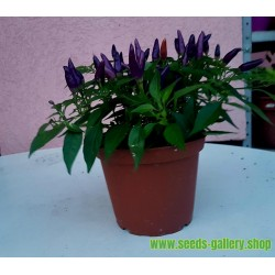 Graines de PIments Purple Pepper