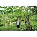 Σπόροι λαχανικών Chayote (Sechium edule)