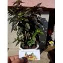 Juniperus chinensis Bonsai Seeds