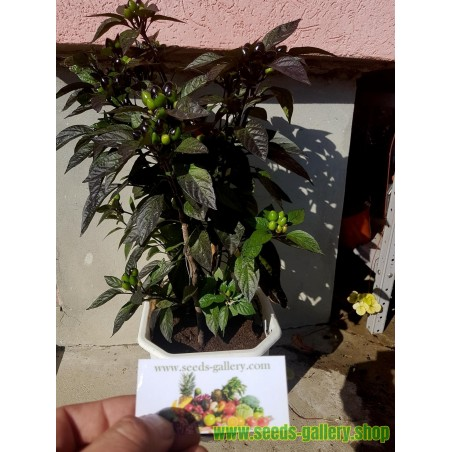 Juniperus chinensis Bonsai Seeds