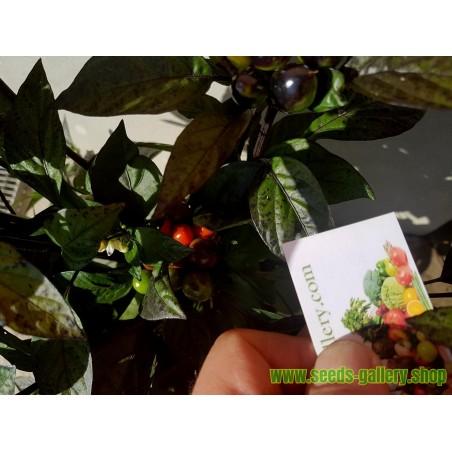 Royal Black Chili Seeds