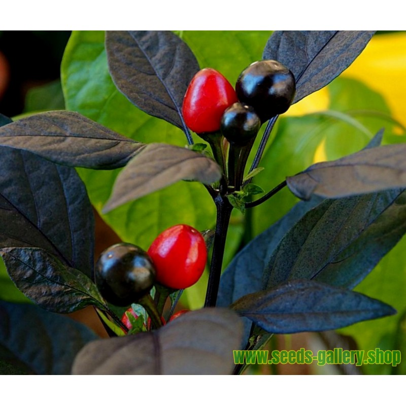 Σπόροι τσίλι Royal Black