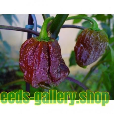 Sementes De Pimenta Nuclear Jonah 7 Pod Pot Chocolate