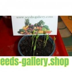 Zimbabwe Bird Chili Celi Plodovi sa Semenom