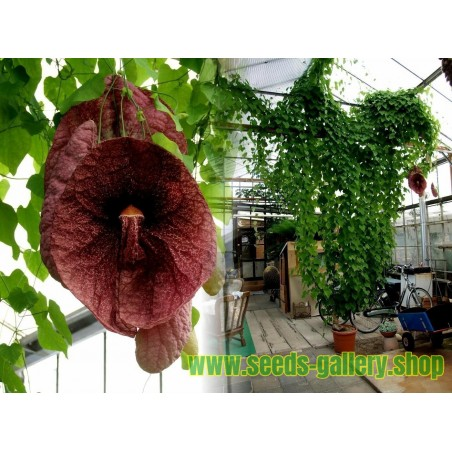 Semi di Aristolochia gigantean - Carnivoro