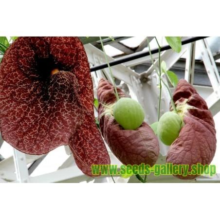Semillas de Reina margarita rojo