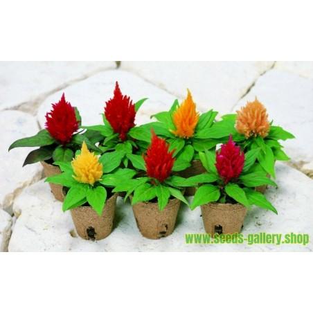 Hahnenkamm Samen Mix Farbe