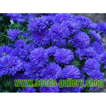 Chinese Aster Blue
