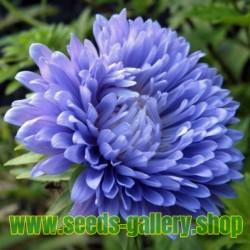 Aster - Matsumoto Blue fröer