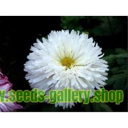 Semillas de Reina margarita blanco