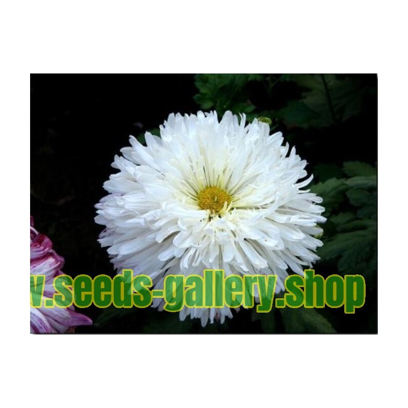 Chinese Aster White
