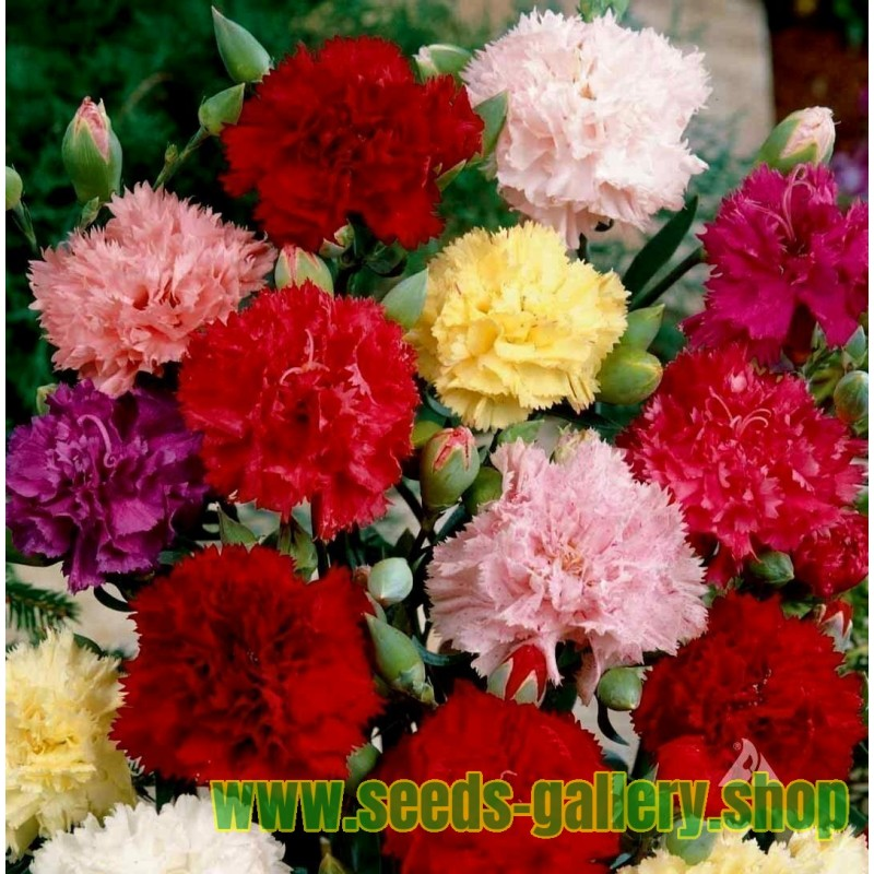 Σπόροι Γαριφαλιά ροζ