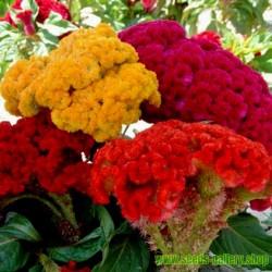 Σπόροι Νάνος Celosia