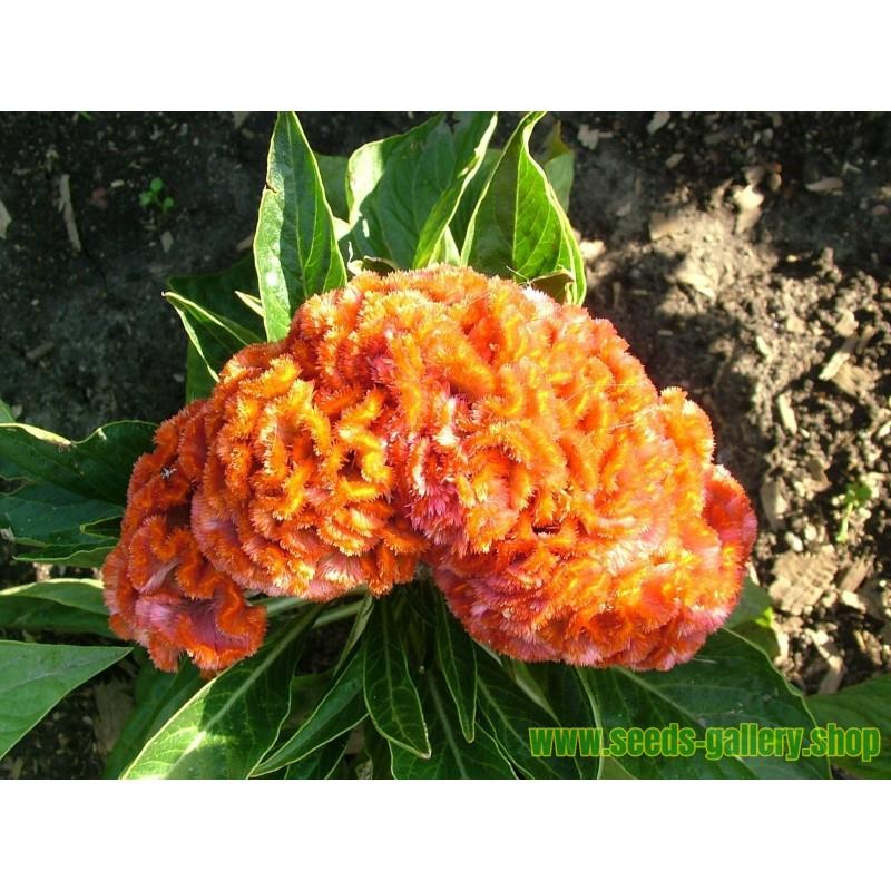 """Semillas de """"Flor del Papa"""" (Lunaria annua)"""
