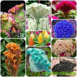 Tuppkam 'Coral Garden' frön