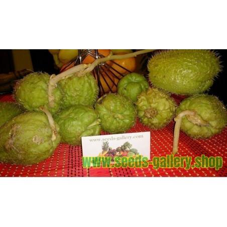 Chayote Seeds (Sechium edule)