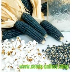 Mini Blaue Popcorn Mais Samen