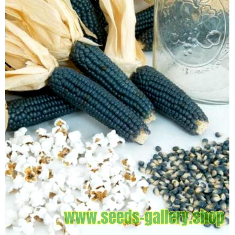 Mini Blå Popcorn Frön