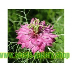 Love-In-A-Mist Multicolor, Ragged Lady Flower Seeds
