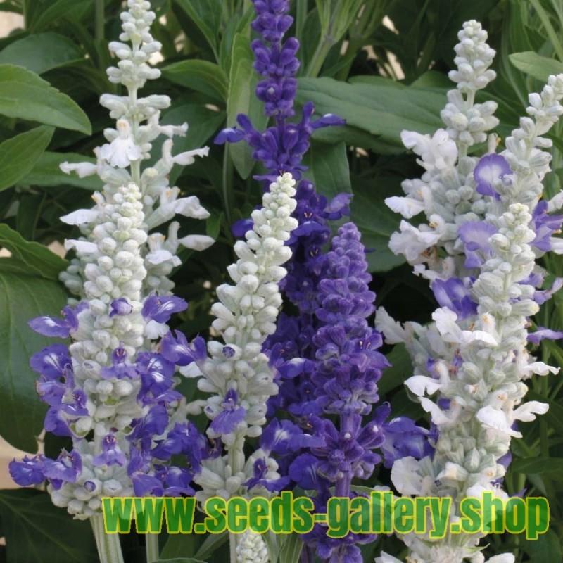 Semi di Salvia farinacea 'Victoria'