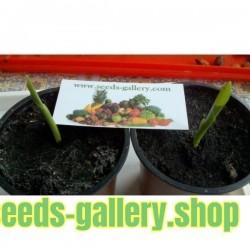 Paradiesvogelblume Samen (Strelitzia reginae)