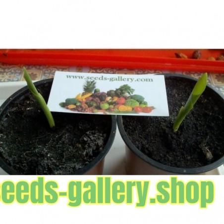 Σπόροι Πουλί του Παραδείσου (Strelitzia reginae)