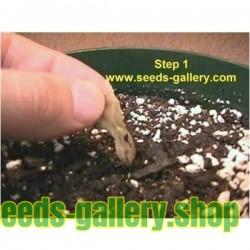 Semillas de Plumeria 'Orange Spender'
