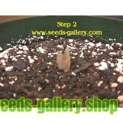 Graines de Plumeria 'Orange Spender'